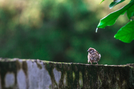 The sparrow perched on old cement wall