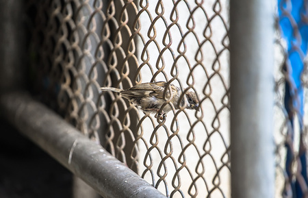 nature Sparrow is seen easily It is a sedentary bird on a fence along the walls of the house looking for food. Zdjęcie Seryjne