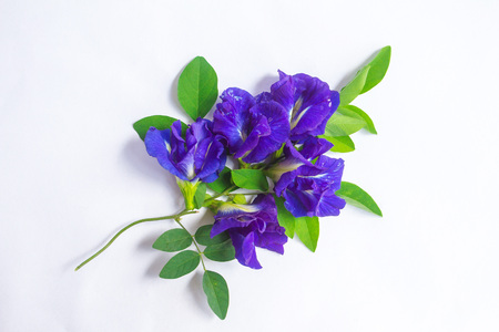 Clitoria ternatea placed on white paper, to be used in the design or advertising, which is the white isolated background.