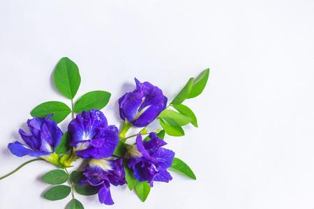 Clitoria ternatea auf einem weißen Papier zur Verwendung in Design oder Werbung platziert, die als weißer isolierter Hintergrund.