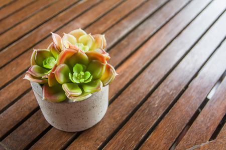 Succulent in pot small leaf placed on the table. Zdjęcie Seryjne