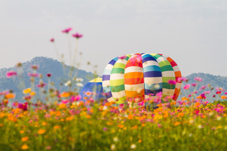 Flower Cosmos and beautiful balloons in the background. Zdjęcie Seryjne - 120402857