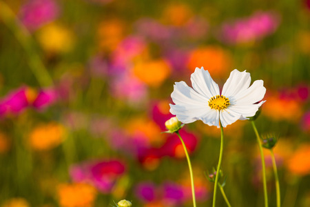 Cosmos bipinnatus, if planted as meadows. Cause the point of view because of the variety of colors is fresh and a good background in photography. Zdjęcie Seryjne