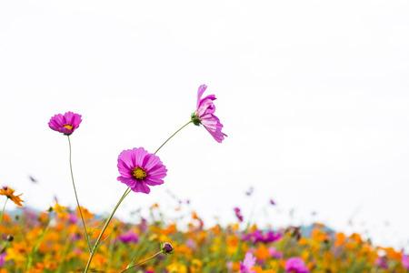 Cosmos bipinnatus beautiful blossom everywhere.