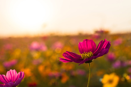 Cosmos bipinnatus flowers, one that easy to treat stupid, and growing fast, can be grown in any sunlight, whether it is summer. Cold or rain.