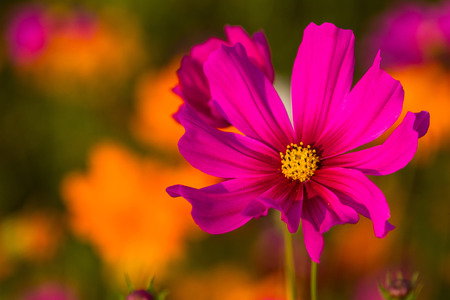 Cosmos bipinnatus is another type of flowers that grow the fastest and easy rearing easier. wherever there is a sunny, whether it is winter or summer, rain.