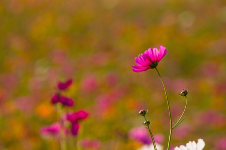 Cosmos bipinnatus is flowers of peace.