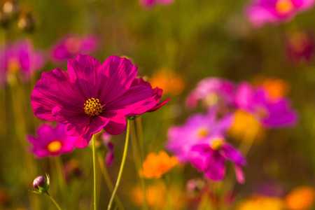 Cosmos bipinnatus colors can be used as a background in photography.