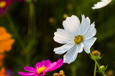 Cosmos bipinnatus variety of different colored flowers as a dominant race who pretty well.