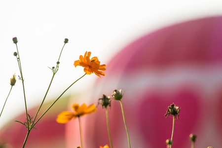 Cosmos bipinnatus, beautiful and use it as a background.