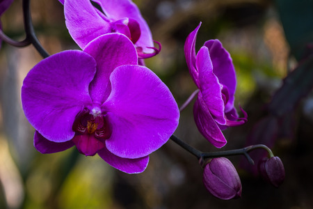 Phalaenopsis Orchid is one of the beautiful orchids, and multiple colors. Zdjęcie Seryjne - 127062196
