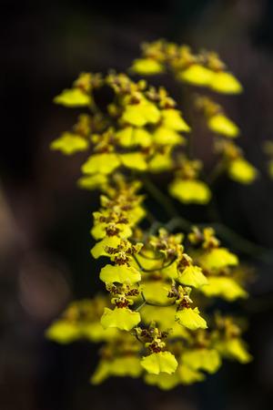 Oncidium ampliatum orchid is a bunch of beautiful yellow blossom time. Zdjęcie Seryjne