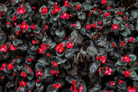 Beautiful red Kalanchoe Is a short shrub for arranging the garden