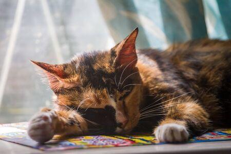 Peaceful tabby cat female kitten curled up sleeping.