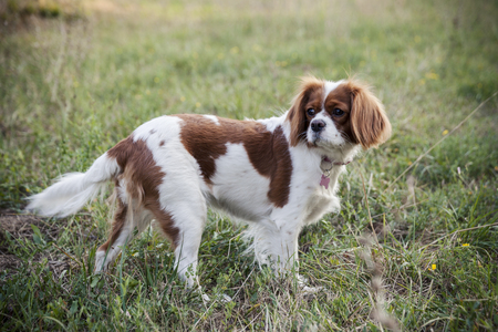 Pointer dog in the field Stock Photo