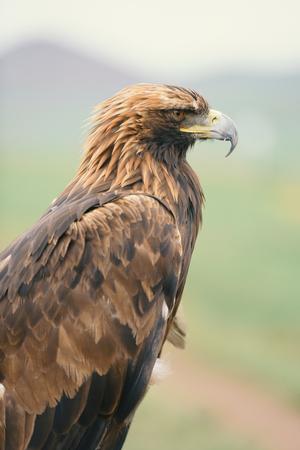portrait of a brown eagle, close up