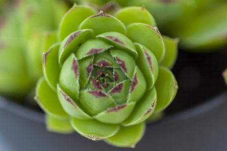 sempervivum, green housleek plant background, close up Stock Photo