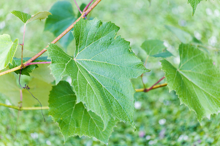 new leaves are growing and young grapes, close up