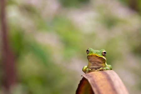 green tree frog: Green tree frog on a brown leaf posing for a portrait