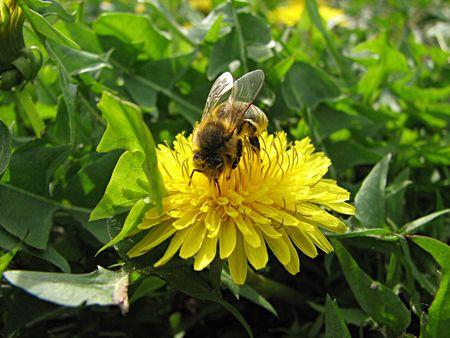 awaking: bee and dandelion Stock Photo