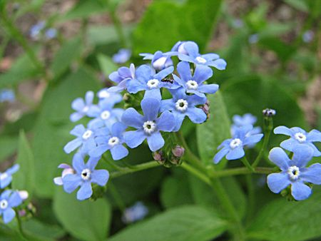 ant and forget me not photo