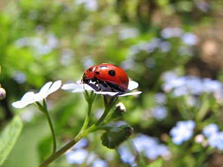 ladybug on blue flowers photo