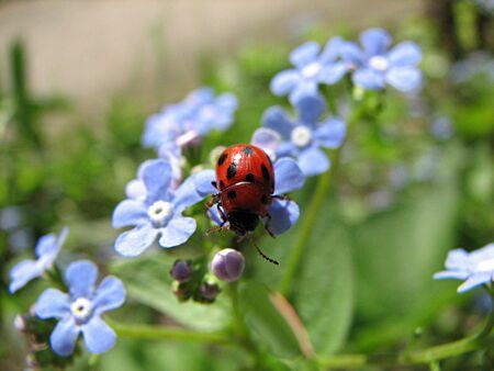 no correr: mariquita en flores de color azul  Foto de archivo