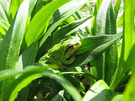 little green frog on the green grass Stock Photo - 393225