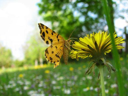 awaking: butterfly on the dandelion