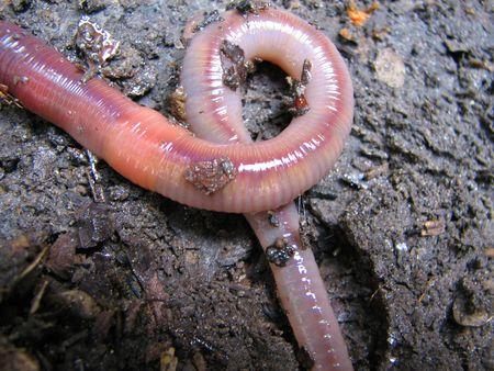 silt: worm