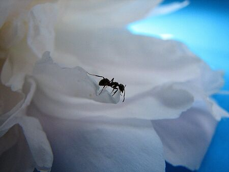 ant on the petal photo