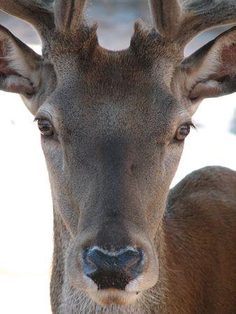 deer Stock Photo - 464667