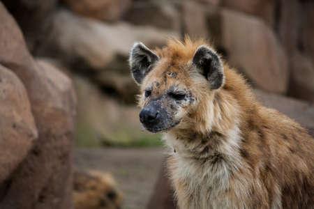 hyena: hyena focused Stock Photo