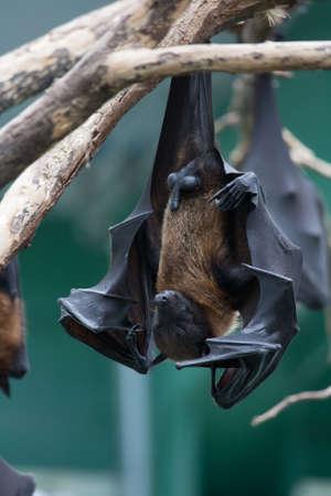 vampire bats: Bat hangs upside down  on a leg