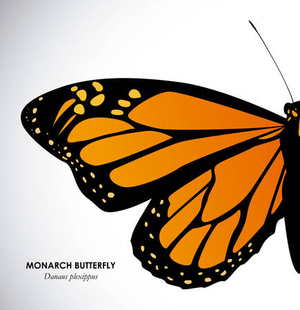 monarch butterfly: Butterfly design over white background, illustration Illustration