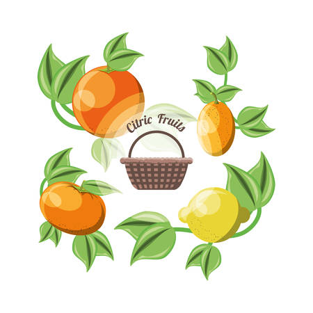 basket with citric fruits and leaves around over white background vector illustration Stock Vector - 89868593