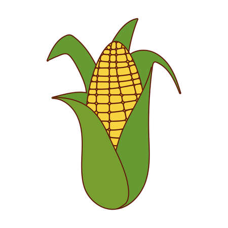 Corn design, Food vegetable agriculture green plant maize cob and organic theme Vector illustration