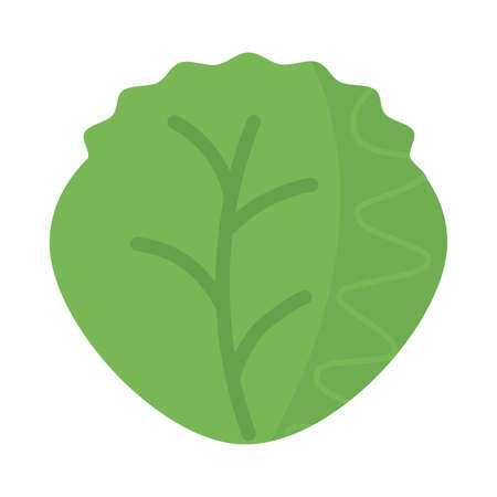 fresh and healthy vegetable, lettuce leaves on white background vector illustration design 일러스트
