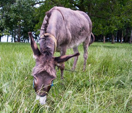 siervo: Burro comiendo hierba Foto de archivo