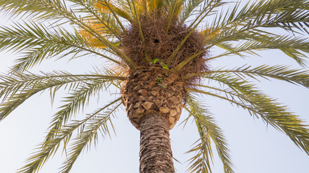 loros verdes: loros verdes en el �rbol de palma y su nido