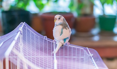 Blue domestic budgie sits on the roof of the cage with widow flowers on the background Stock Photo