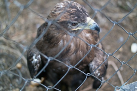 Eagles head close up behind the zoo cage