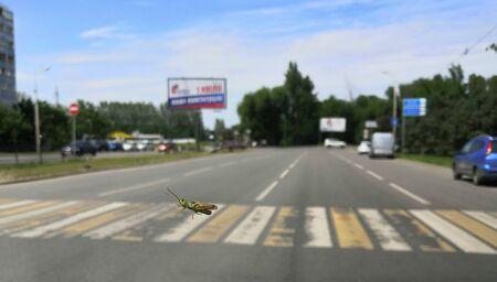 Locusts cross the road at a crosswalk Banque d'images