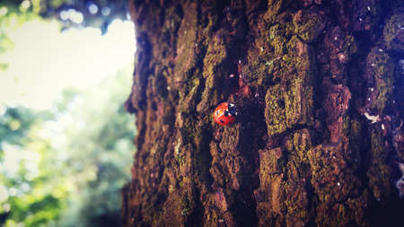 coccinella: Seven Star lady beetles on the tree