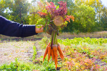 A woman holding carrots in her hands in the garden. Organic farming concept.