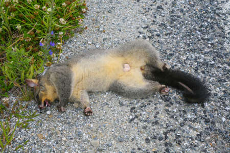 A dead possum lying on the side of the road. South Island, New Zealand.