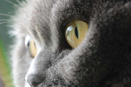 cat s eyes, british blue shorthair photo