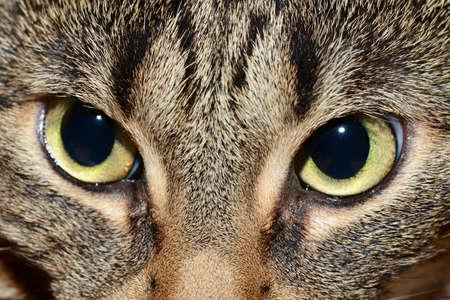 b�se augen: �gyptische Mau - b�sen Augen