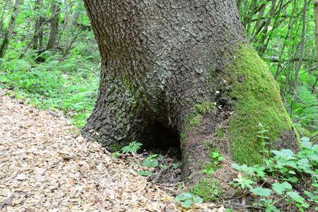 sigulda: STUB con un agujero en el bosque Sigulda, naturaleza