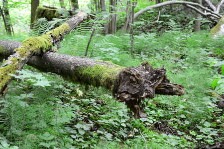 sigulda: Old mossy logs in the forest  Sigulda, nature Stock Photo